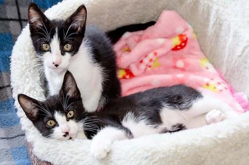 Clooney, gatito blanquinegro muy guapo con perilla, apto para perros y esterilizado nacido en Enero´17, en adopción. Valencia. ADOPTADO. 34672279616_9597d49025