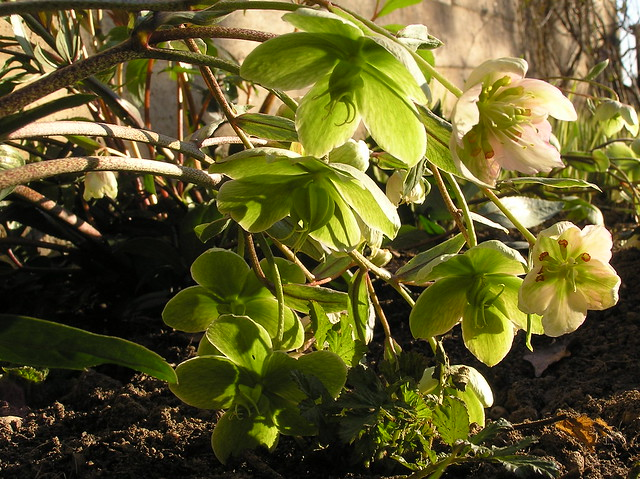 Helleborus 'Winter Bells'