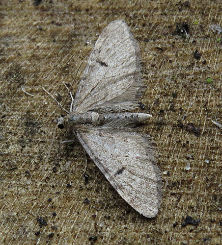 Ochreous Pug Eupithecia indigata Tophill Low NR, East Yorkshire May 2017
