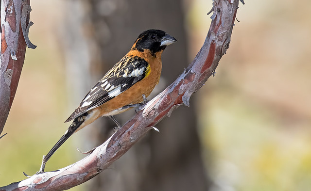 Black-headed-Grosbeak-9-7D2-050417