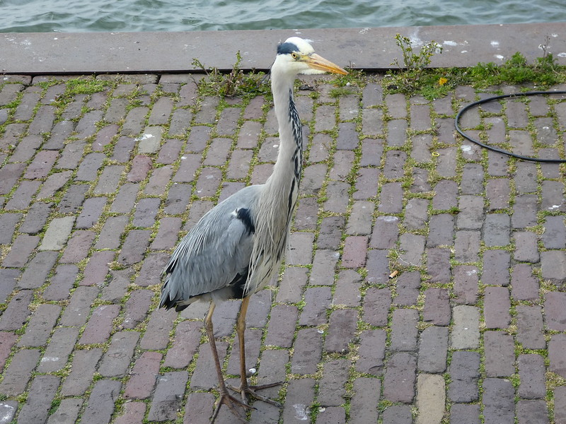 Heron, Volendam, The Netherlands