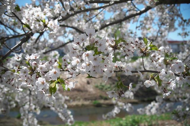 20170504新川さくら並木の桜_05