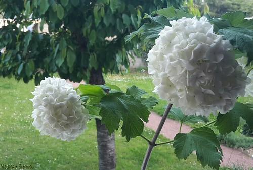 Boule de neige arbuste