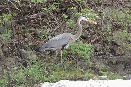 #36 Great Blue Heron