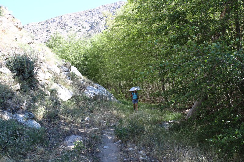 Hiking in the shade of cottonwoods growing along the creek at PCT mile 231