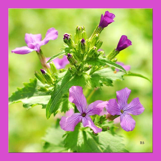 Botanisches am Wegesrand ... Das blüht im Mai 2017 ... Plankstadt bei Heidelberg - Fotos: Brigitte Stolle ... Hier: Violettfarbenes Silberblatt ?