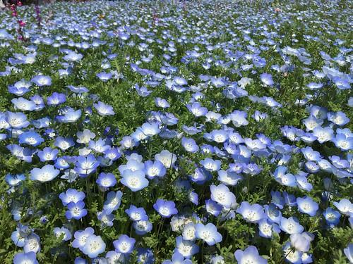 昭和記念公園 昭和の日 ネモフィラ