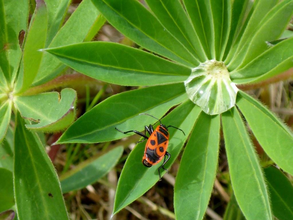 kleiner roter Käfer