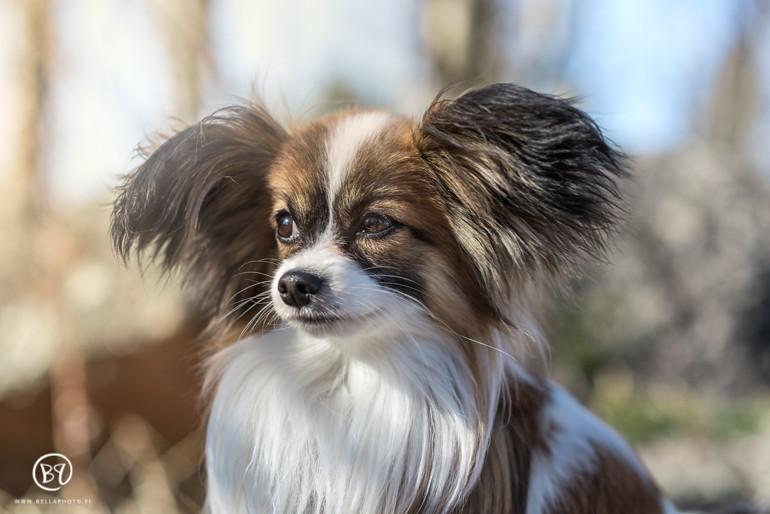 koirakuvaus-kuopio-lemmikkikuvaus-bellaphoto-8