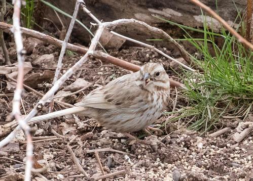 Song Sparrow Leucistic (dilute)