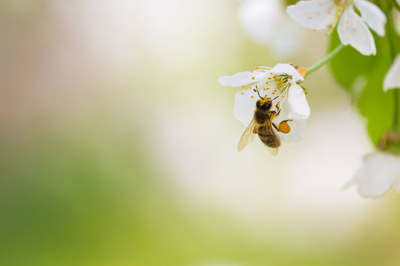 Bee Foraging on Cherry Blossom