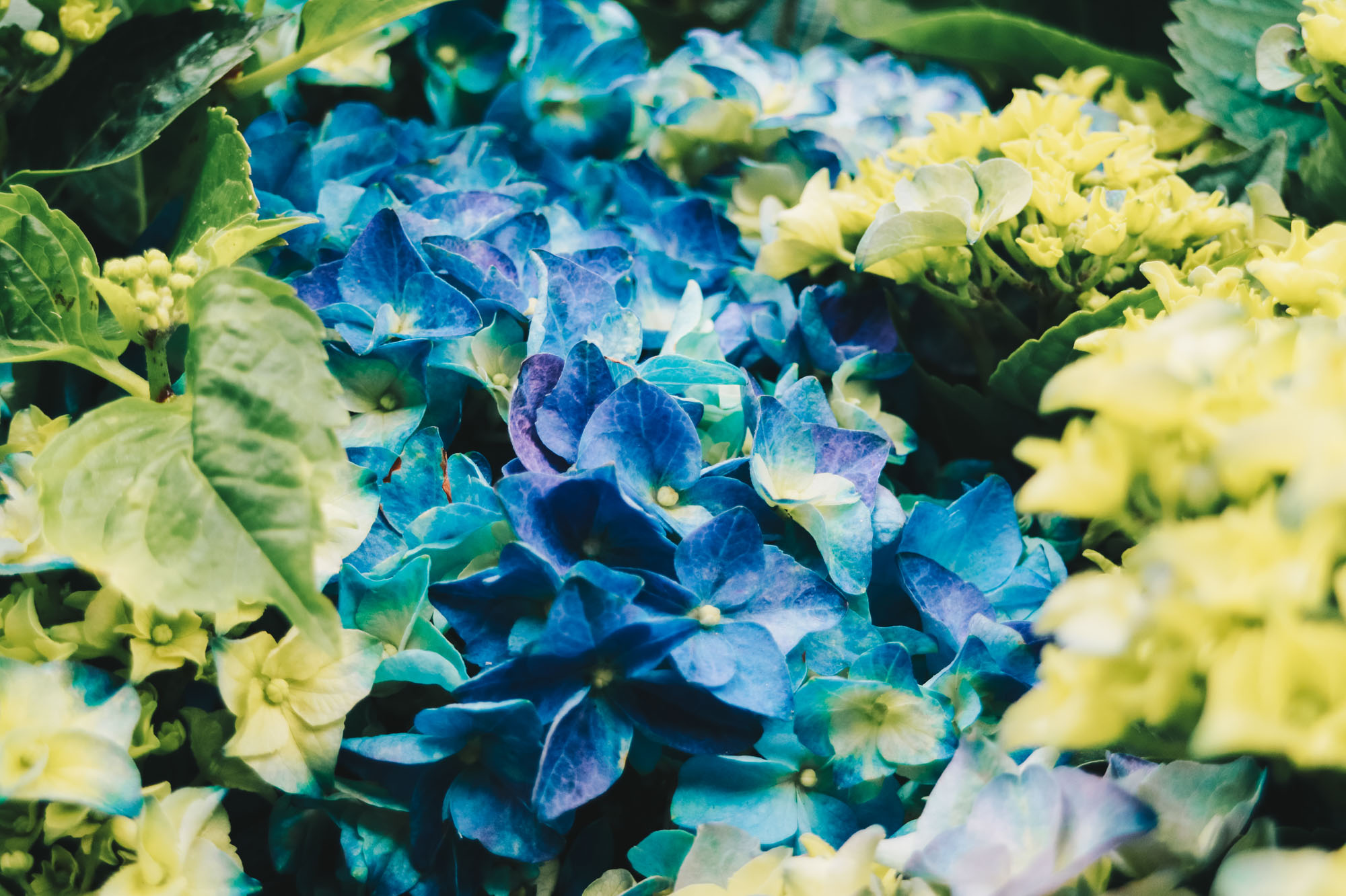 Blue-beauties-floral-display-gardensbythebay-darrenbloggie2