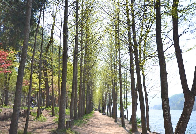 nami island Riverside Lover's Gingko Tree Lane