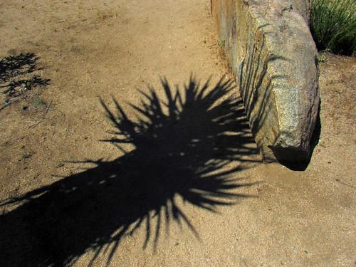 Mojave Yucca (0460)