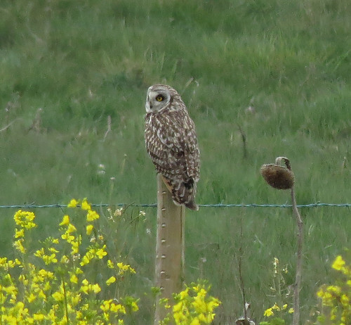 Short-eared Owl Asio flammeus Tophill Low NR, East Yorkshire May 2017
