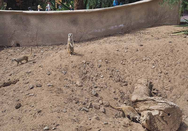mangusti-teneriffa-junglepark