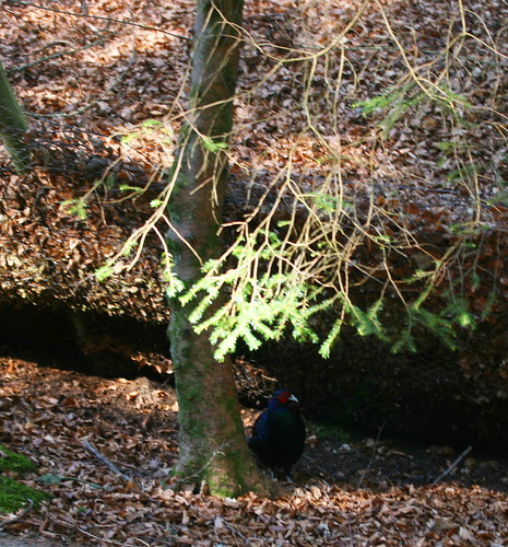 Black/green pheasant!