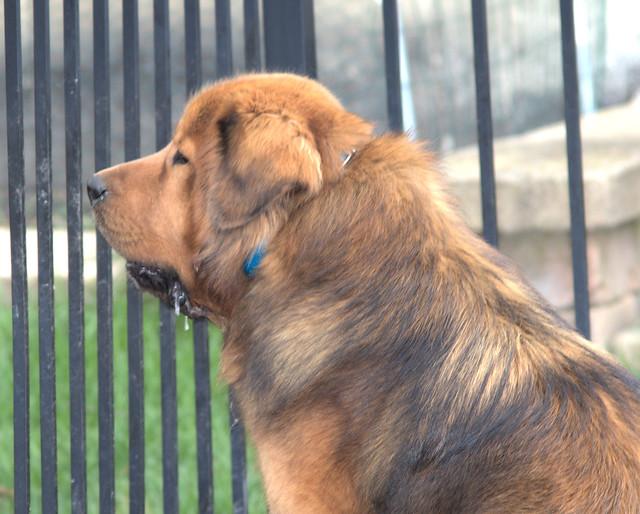 Siboney - Tibetan Mastiff 20170503