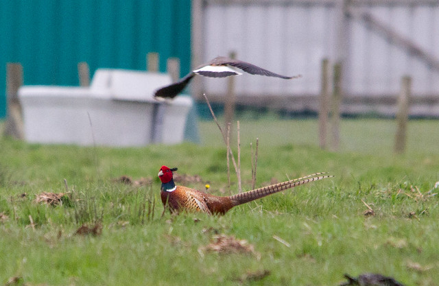 Lapwing Dive bombing a Pheasant