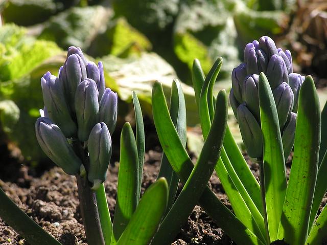 Hyacinthus orientalis 'Sky Jacket'
