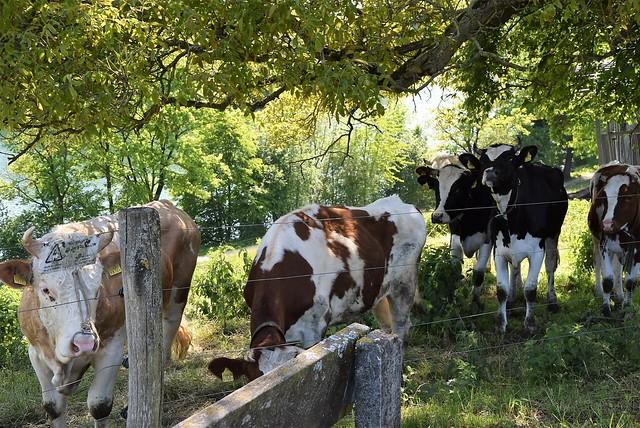 Cows 16.05 (4)