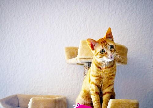 Gara, gatita naranja moteada divertida y activa esterilizada, nacida en Octubre´16 en adopción. Valencia. ADOPTADA. 34332751101_8c775882af