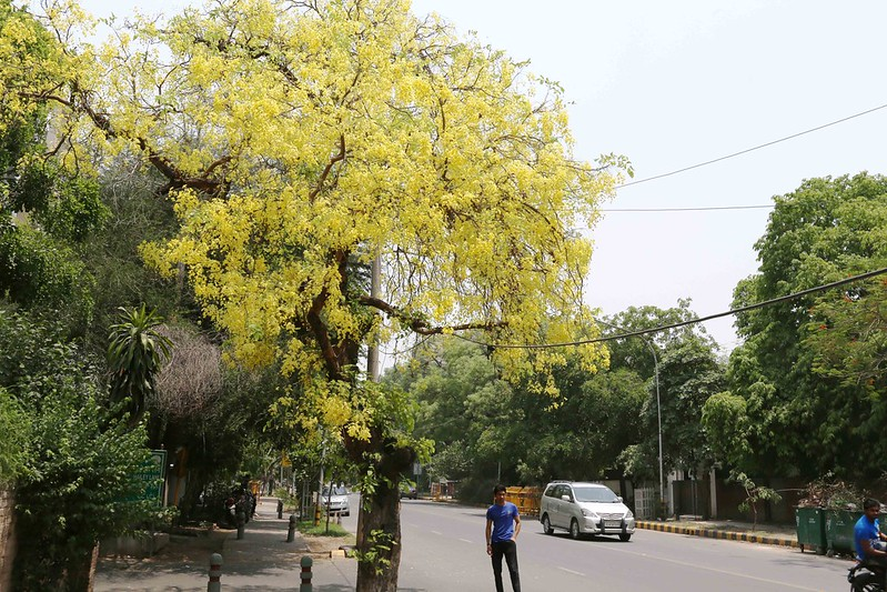 City Season - The Blooming Amaltas Trees, Hailey Road