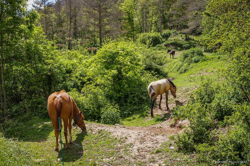 Caballos pastando cerca de la carretera de Borredà a Sant Jaume de Frontanyà