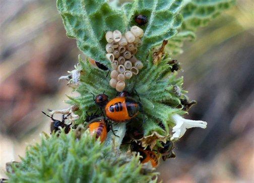 Shield Bug  - Agonoscelis rutila eggs and nymphs (JPG