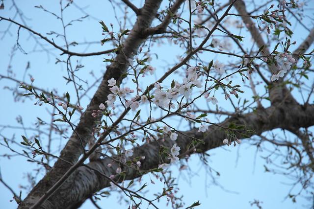20170505東明公園の桜_09