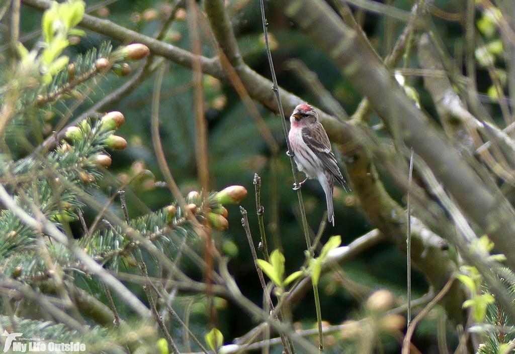 P1070569 - Lesser Redpoll, Llandegla Forest