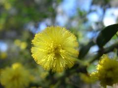 Acacia myrtifolia - Myrtle Wattle