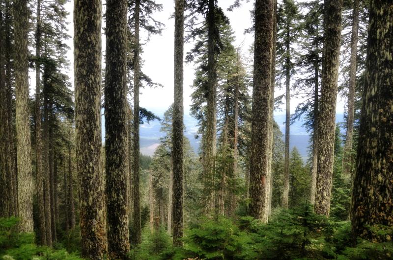 Marys Peak Trees @ Mt. Hope Chronicles