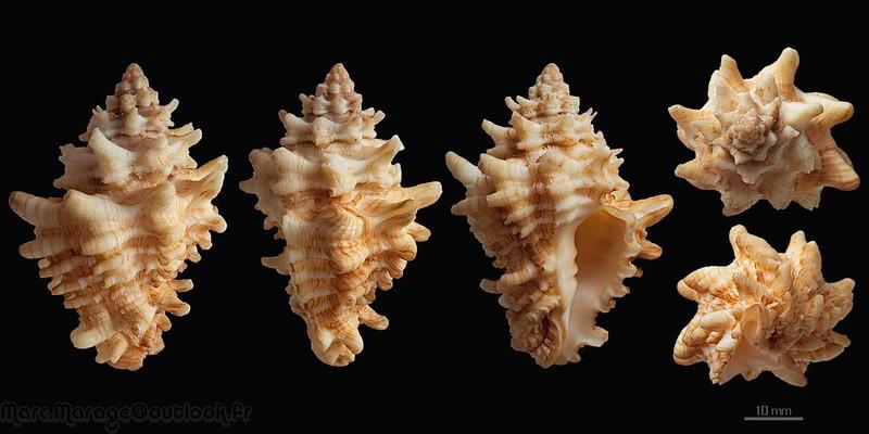 Vasum capitellum - (Linnaeus, 1758) 33638123233_dfde67ba6e_c