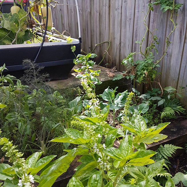 Mid autumn in Sydney : still cropping. #gardenofsel
