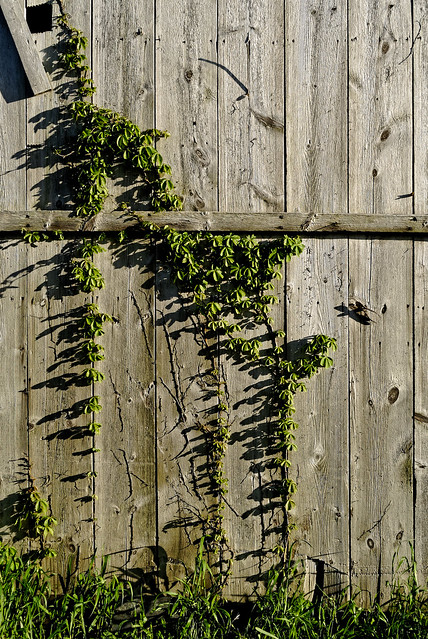 The Vine on the Granary