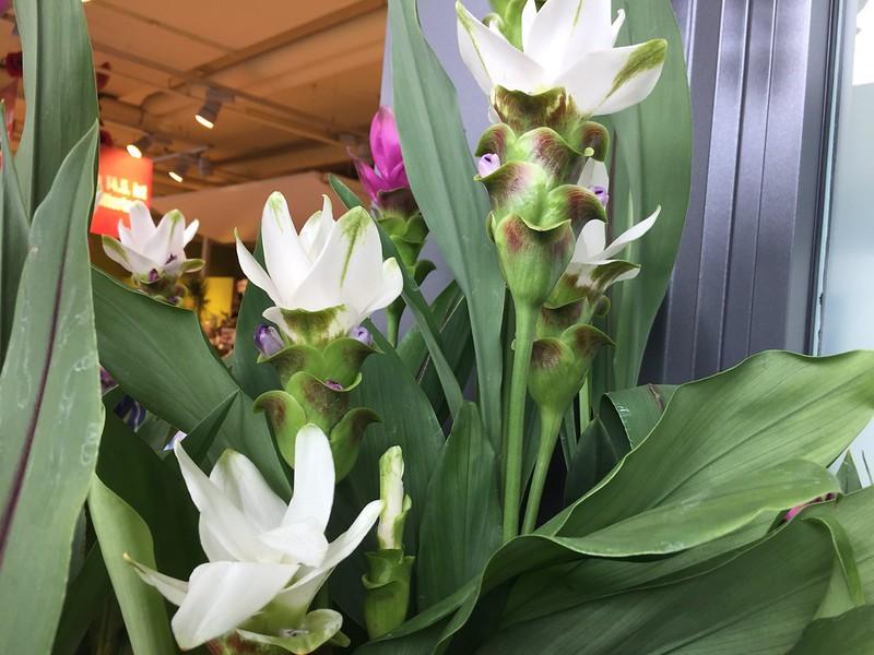 Curcuma, Siam tulip