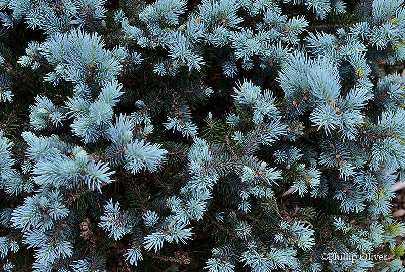 Colorado Blue Spruce (Picea pungens 'Glauca')