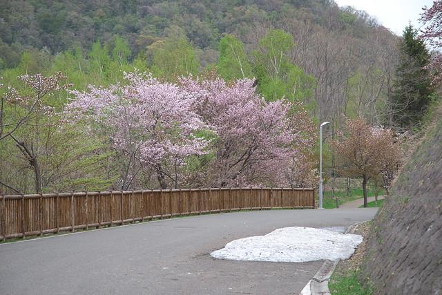 20170505旭山記念公園の桜_09