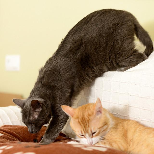 Gris, gato Cruce con Cartujo tímido y tranquilo positivo a inmunodeficiencia nacido en Agosto´15, en ADOPCIÓN ESPECIAL. Valencia. 34328224530_c6e708634a_z
