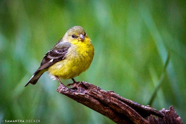 Zion Goldfinch