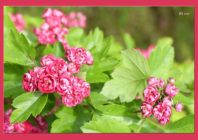 Weißdorn oder Rotdorn ? Zweigriffeliger Weißdorn. Weiße und rote Blüten auf dem selben Strauch ... Sträucherlehrpfad in Plankstadt bei Heidelberg ... Mai 2017 ... Fotos: Brigitte Stolle, Mannheim