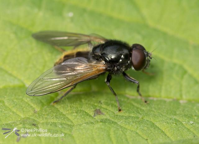Cheilosia albitarsis or ranunculi