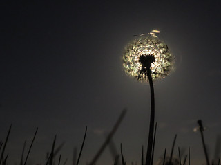 Dandelion head by the light of the moon | by Grantham Ecology