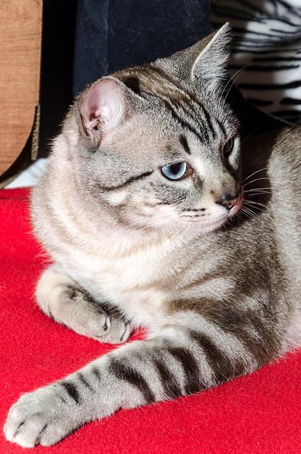 Tango, gato Siamés Tabby de colita corta esterilizado muy guapo, nacido en Enero´16, en adopción. Valencia. ADOPTADO. 34478921161_07fd52f33a_z