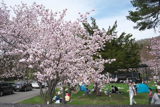 20170505栗山公園の桜_06