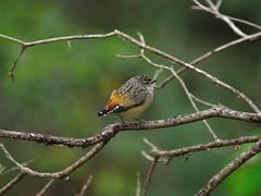 Pardalotus punctatus - Spotted Pardelote