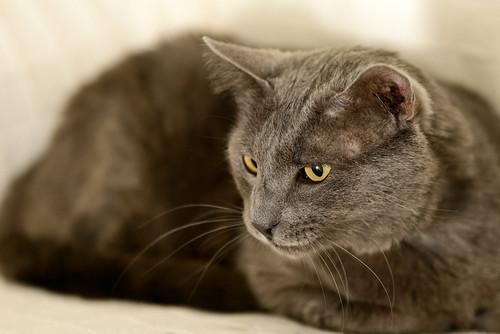 Gris, gato Cruce con Cartujo tímido y tranquilo positivo a inmunodeficiencia nacido en Agosto´15, en ADOPCIÓN ESPECIAL. Valencia. 34672169716_7d1549ccb2