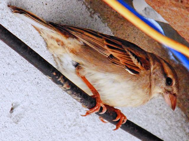 Adorable Sparrow