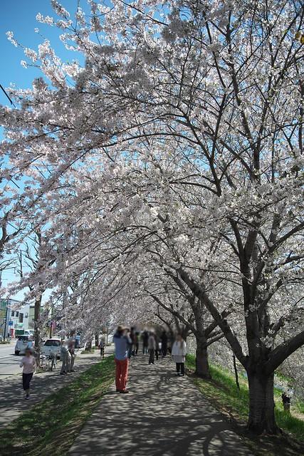 20170504新川さくら並木の桜_01